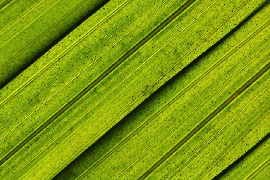 Coconut Palm by KrisVlad