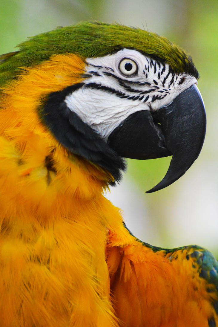Blue And Gold Macaw by KrisVlad