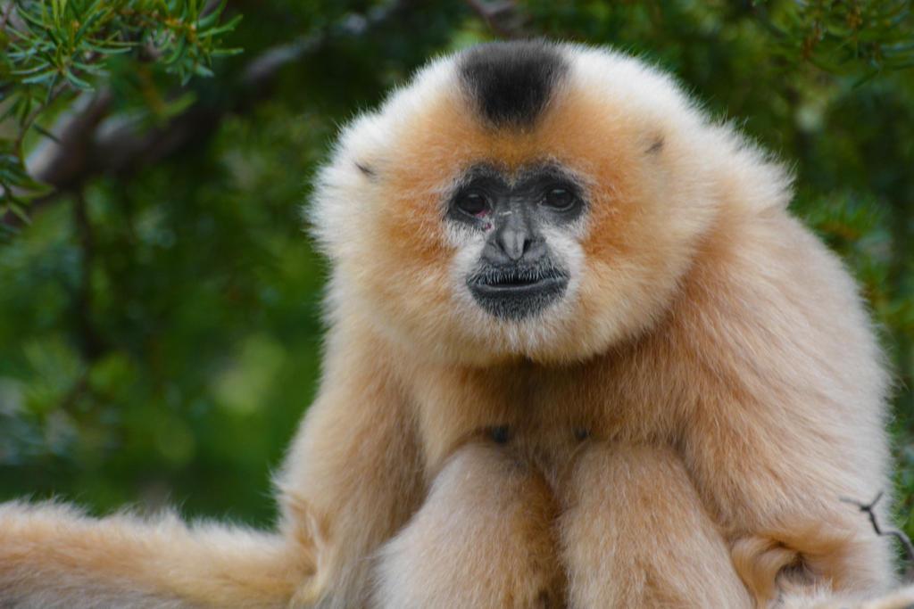 Buff Cheeked Gibbon by KrisVlad