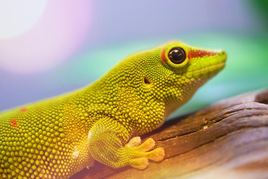 Madagascar Gecko by KrisVlad