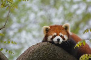 Red Panda Patrol by KrisVlad