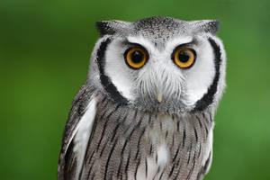 Scops Owl by KrisVlad