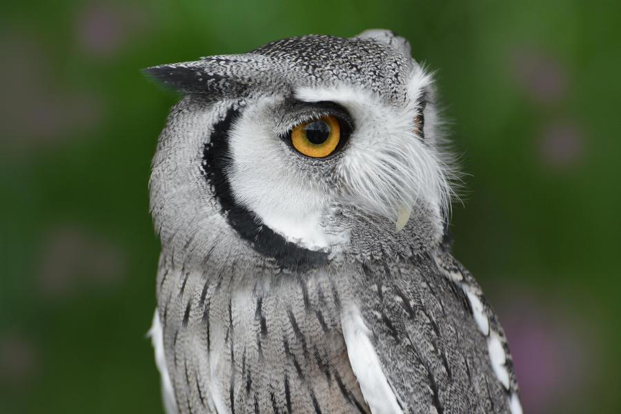Little Scops Owl by KrisVlad