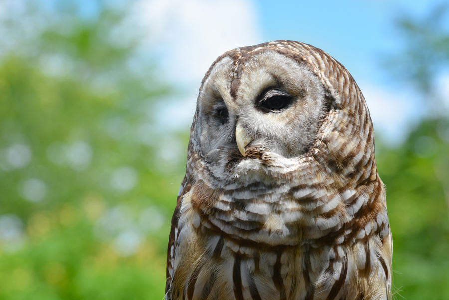 Barred Owl by KrisVlad