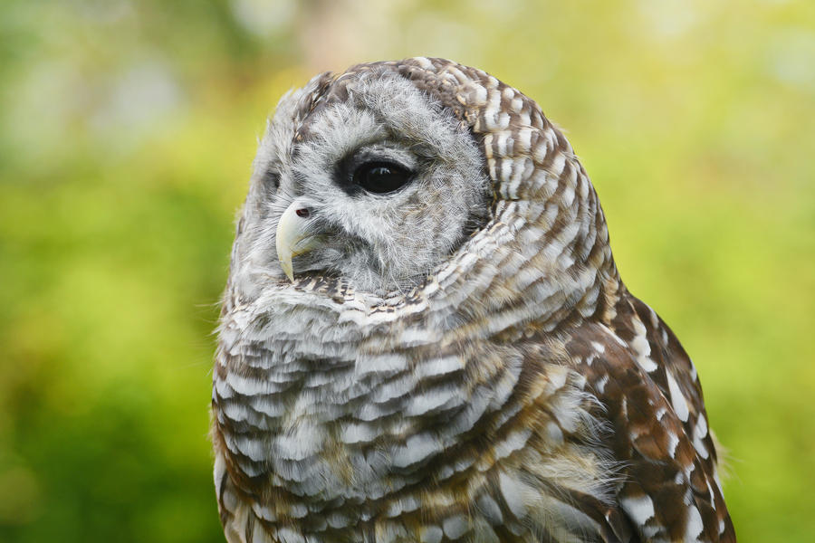 Barred Owl Homer by KrisVlad