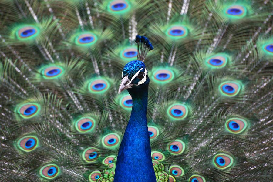Proud Peacock by KrisVlad