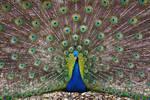 Peacock Show
