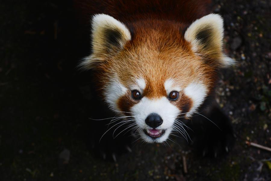 Panda Bear Greeting by KrisVlad