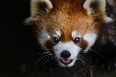 Red Panda Smile by KrisVlad