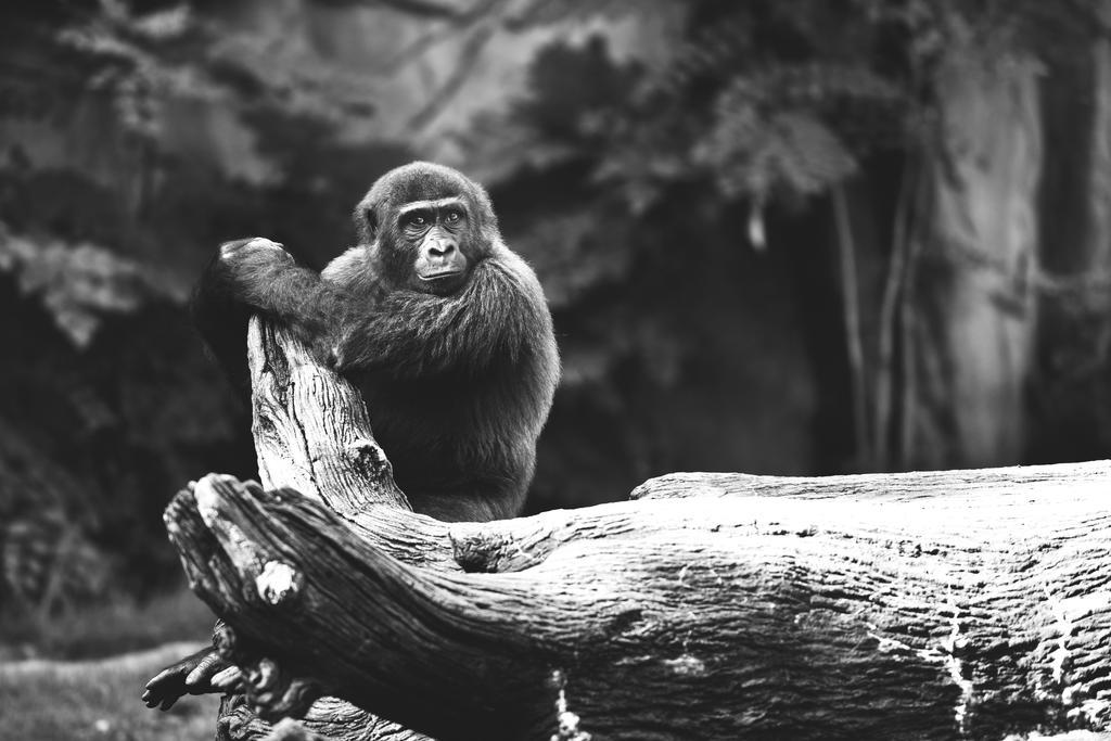 Western Lowland Gorilla by KrisVlad