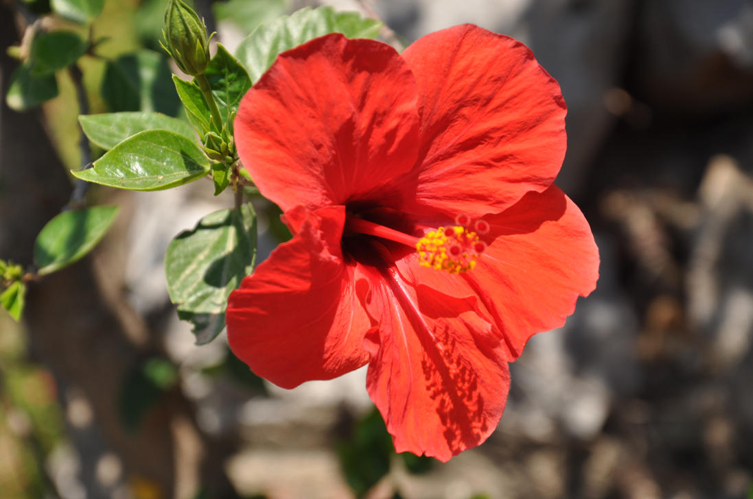 Hibiscus Flower By Windrosey On Deviantart