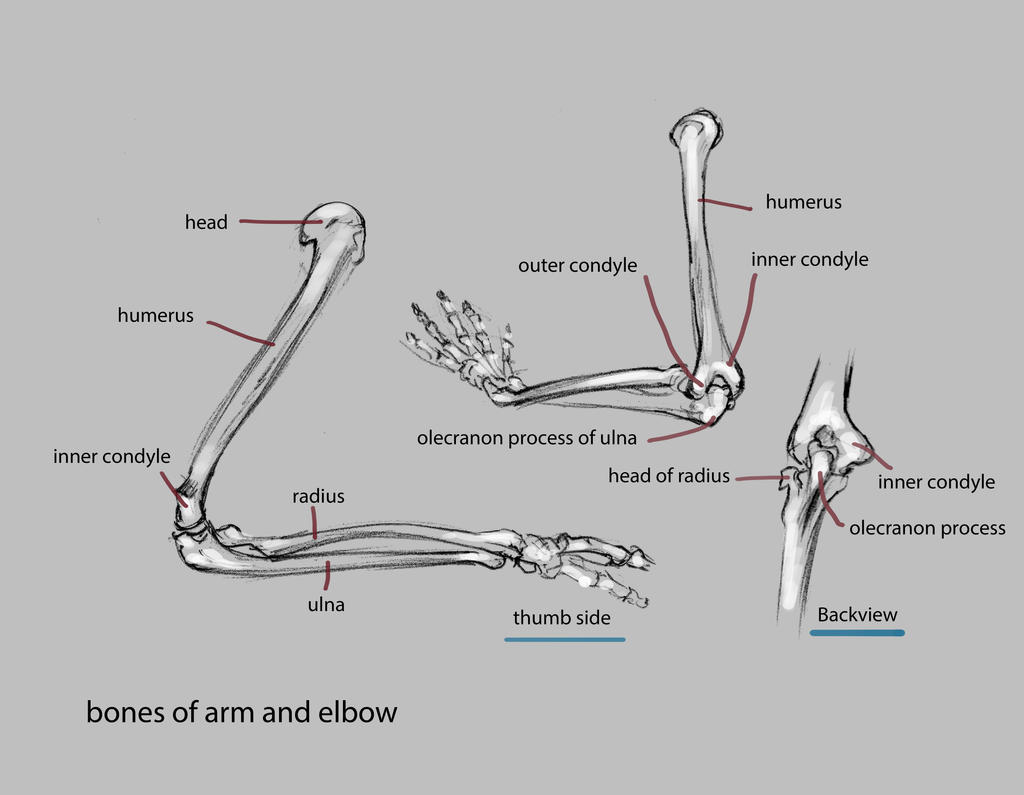 bones of arm and elbow by nosoart
