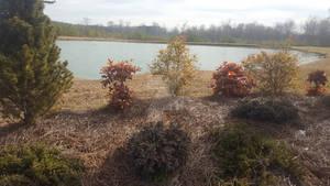The Pond and the Cedar