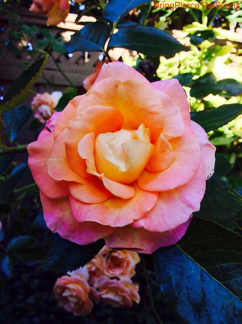 Fierce Rose. by BringPierceTheSirens