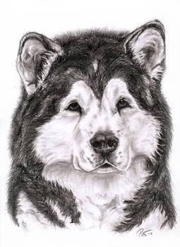 Alaskan malamute portrait 2