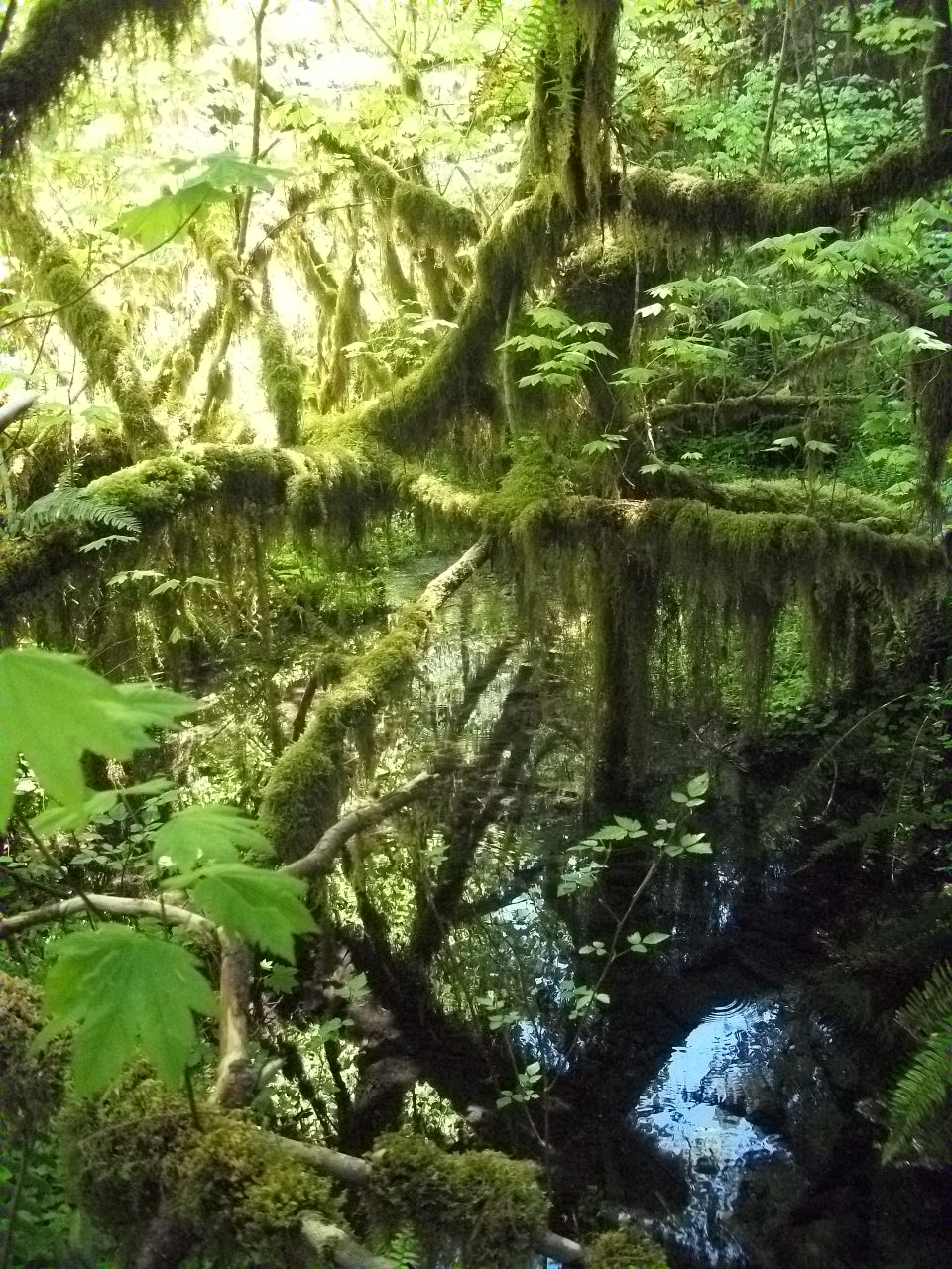Louisiana hidden in the Hoh Rainforest in WA by pokemontrainerjay