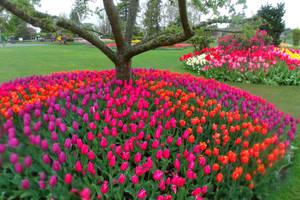 Tulips by pokemontrainerjay