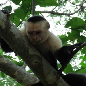 Costa Rica 002 - Capuchin Monkey