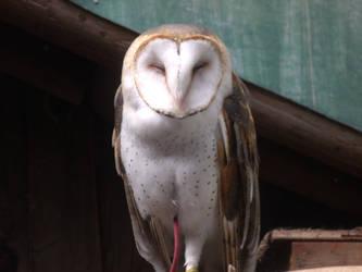 Barn Owl 01 by pokemontrainerjay