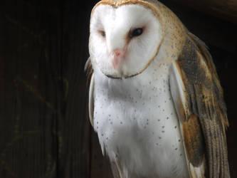Barn Owl 002 by pokemontrainerjay