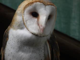 Barn Owl 03 by pokemontrainerjay