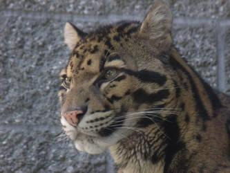 Clouded Leopard 01 by pokemontrainerjay