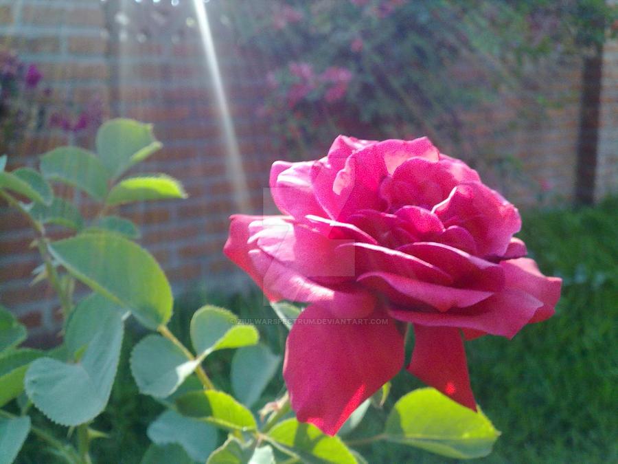 A Rose by ZiulWarSpectrum