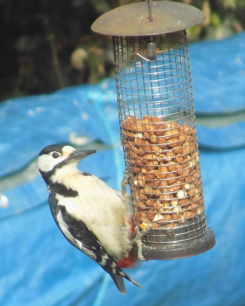 Great Spotted Woodpecker by KawaiiSteffu