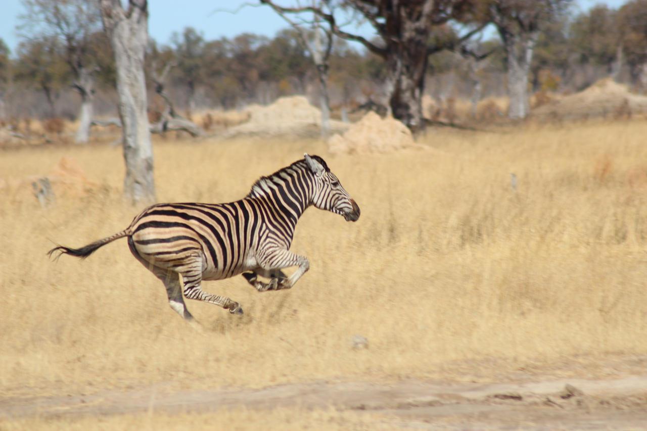 zebra running - photo #10