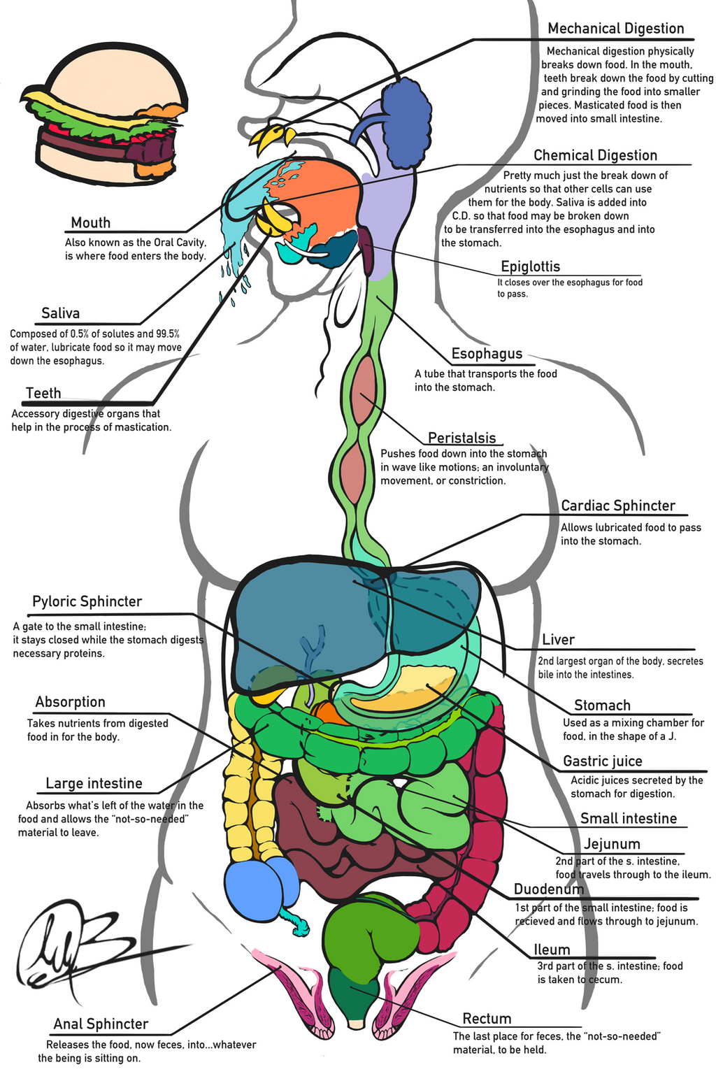 sci 241 digestive system Learn science test 7th grade digestive system with free interactive flashcards choose from 500 different sets of science test 7th grade digestive system flashcards on quizlet.