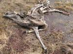 Deer Skeleton1