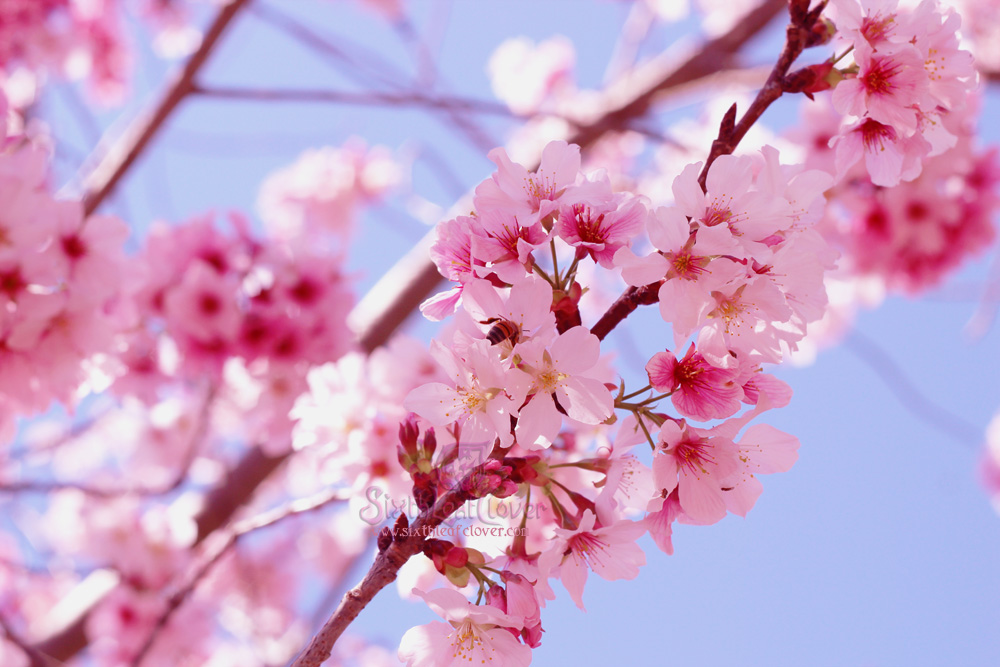 Flowering Cherry by The-SixthLeafClover