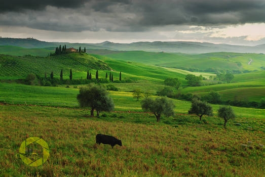 Val d'Orcia cow /Tuscany