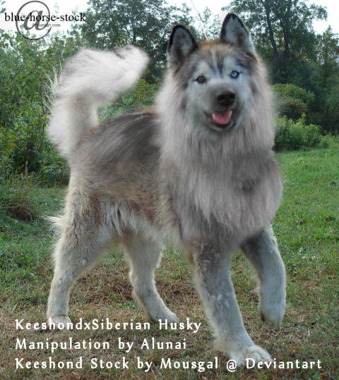 ... HER HOME BY A DOG SHE HAD OWNED FOR 8 YEARS -- ??? A KEESHOND MIX