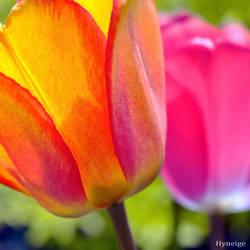 Transparence Orange et Rose II