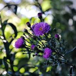 Chrysantheme de Septembre II