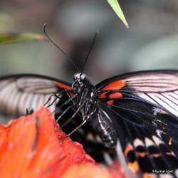 Papillon Harmonie en Orange