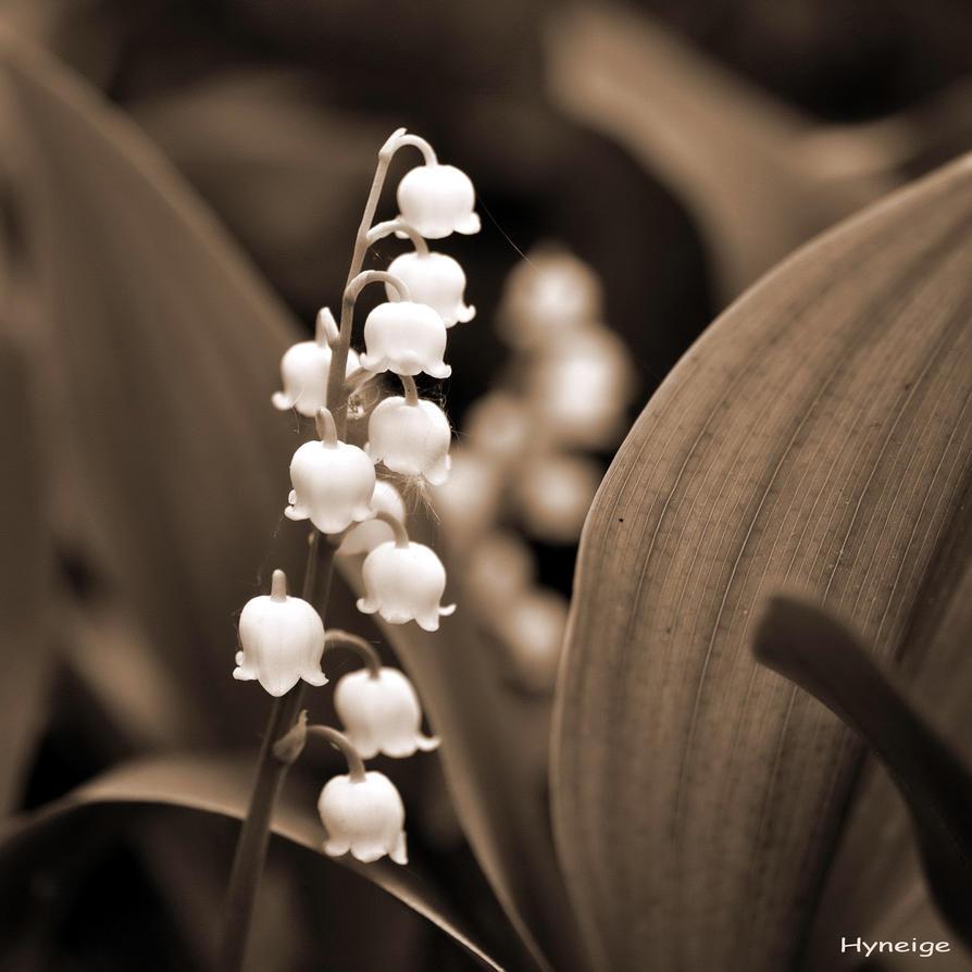 Muguet... La belle fleur de Mai...
