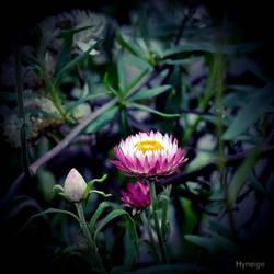 Immortel en rose et automne