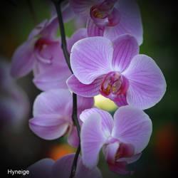 Orchidee en violet et pale