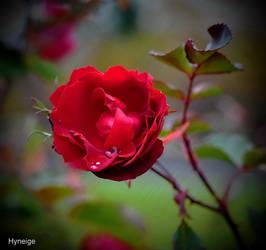 Rose et larmes au jardin
