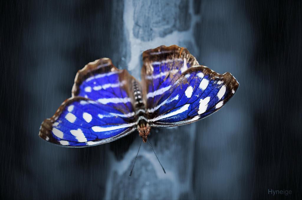 Papillon en blue sur bleu by hyneige
