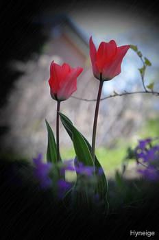 Tulipes en splendeur de leurs ombres