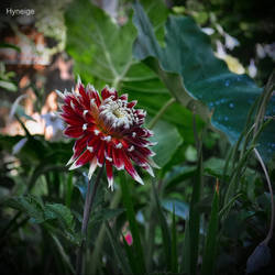 Dahlia sur colocasia