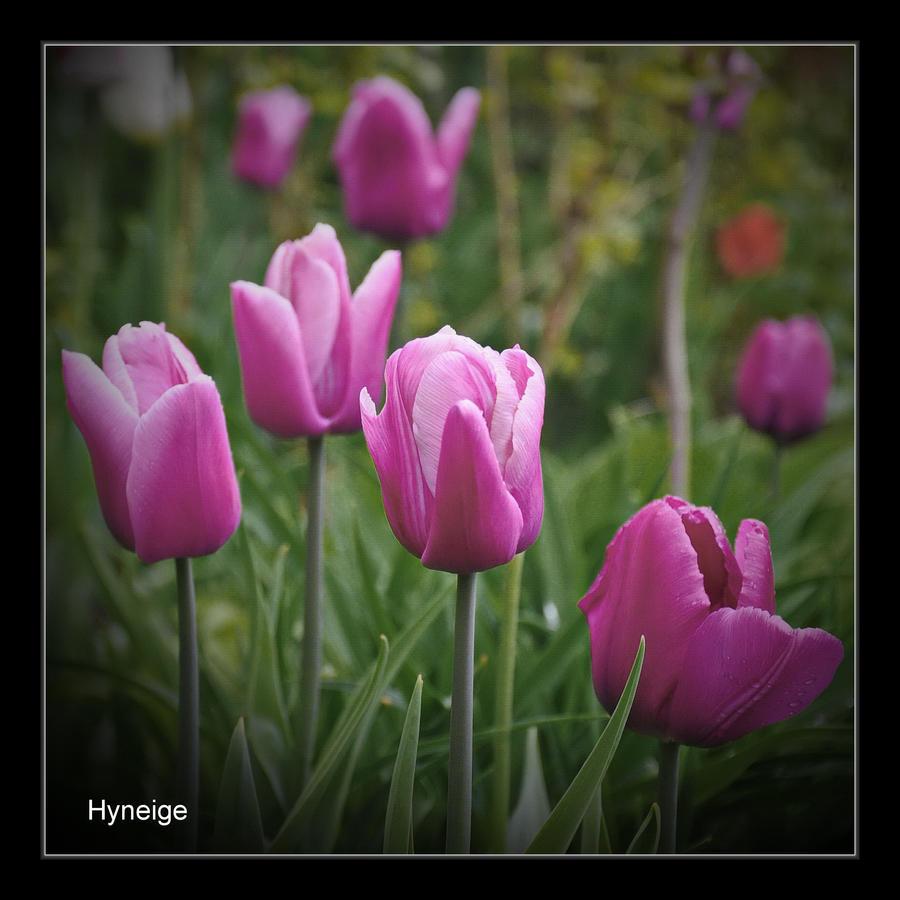 En champ de rose by hyneige