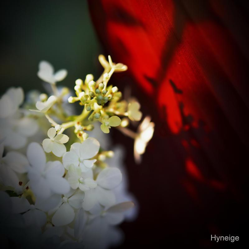 Ombre et Hydrangee I