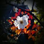 Anemone en automne I by hyneige