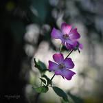 Rose en simplicite I