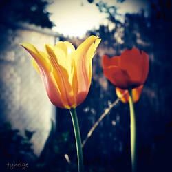 Tulipe en tendre et lumineuse I