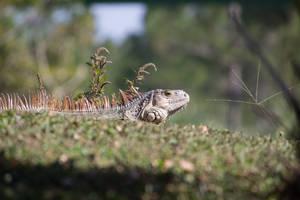 Wild Iguana by CyclicalCore